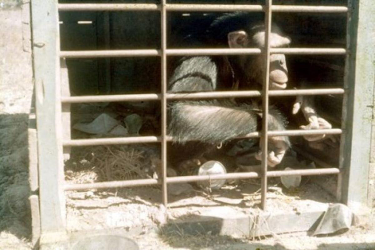 A chimpanzee is confined in a cage.