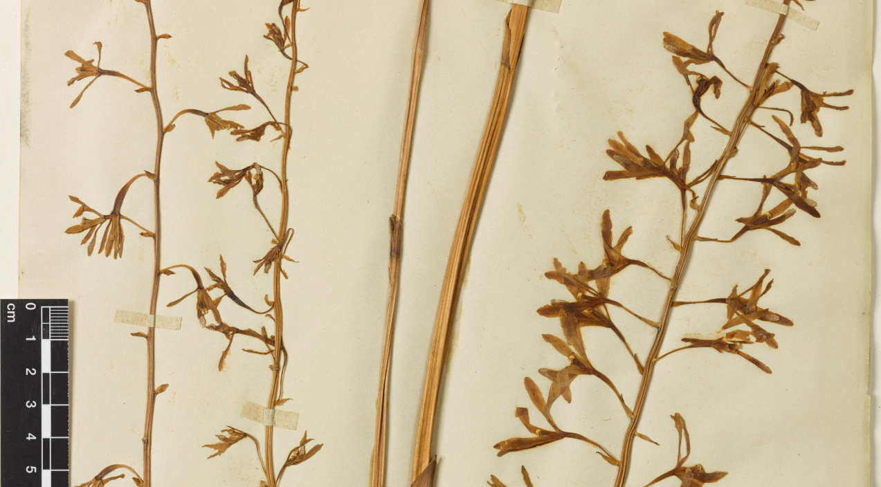 Photograph of plant specimens collected by Fredrick Schultze