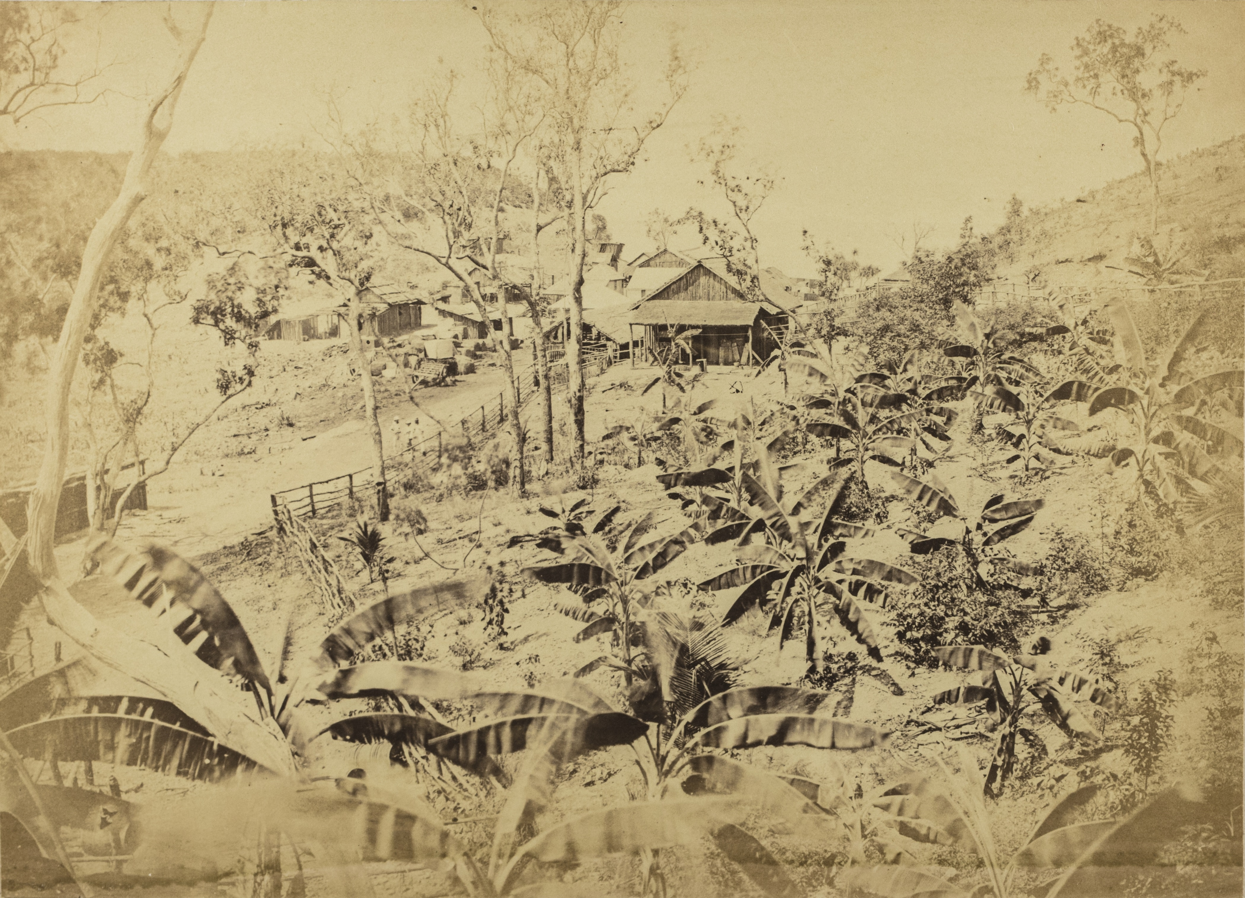 Banana garden beside road leading down to main survey camp at the base of Fort Hill, 1869
